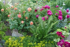 Pfingsrose und Rose